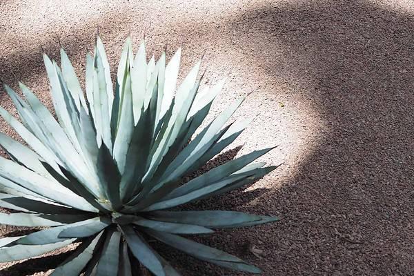 majorelle-cactus