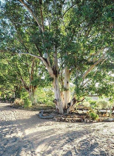cederberg trees